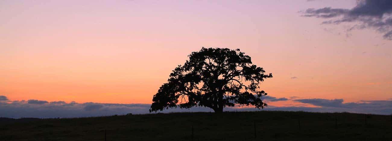 Oak Tree During Warm Sunset