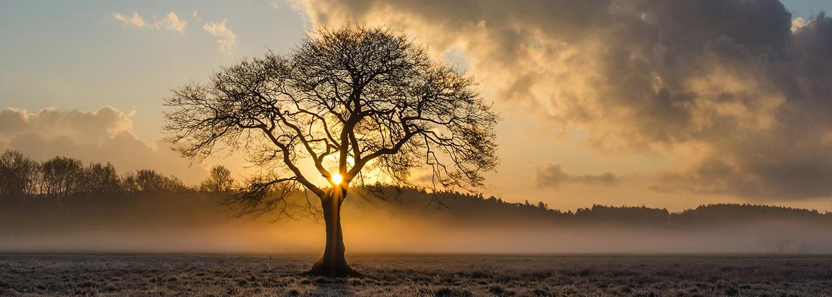Oak Tree with Sun Shining Through Branches at Sunrise