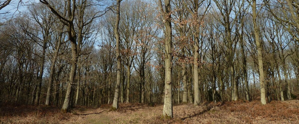 Oak Trees in Woodland